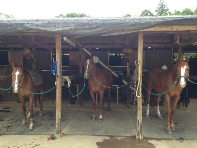 乗馬クラブで栗毛の馬達を集合させました。 茨城県稲敷市 Oさん