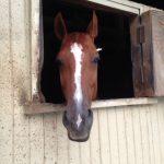 乗馬クラブで馬小屋から顔を出していました。 茨城県つくば市 Oさん